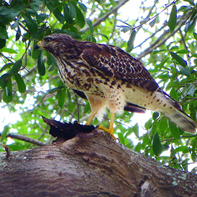 What kind ofHawk?