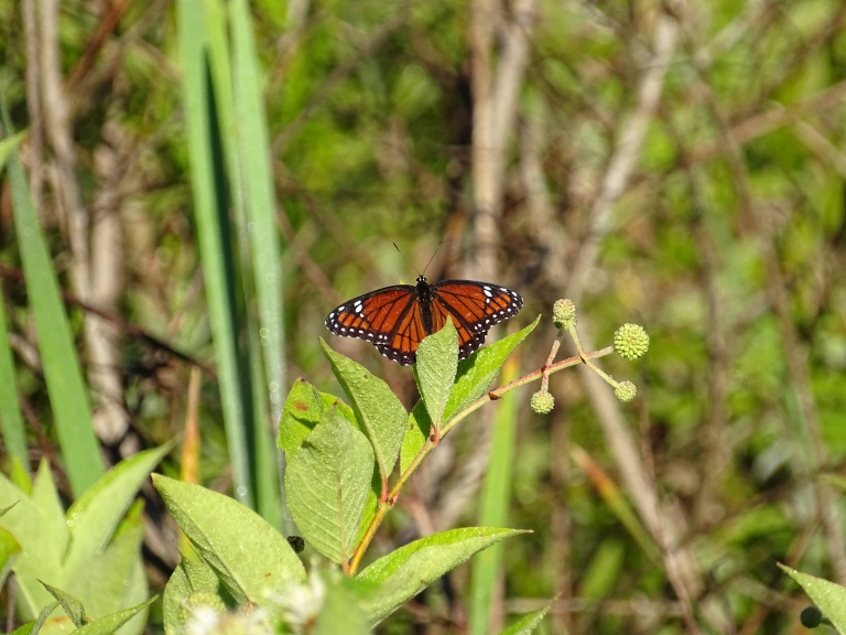 Viceroy Butterfly posing for me