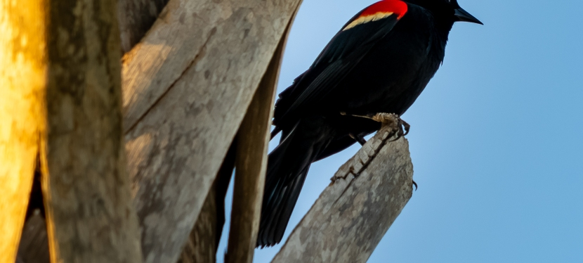 Red-Winged Blackbirds?
