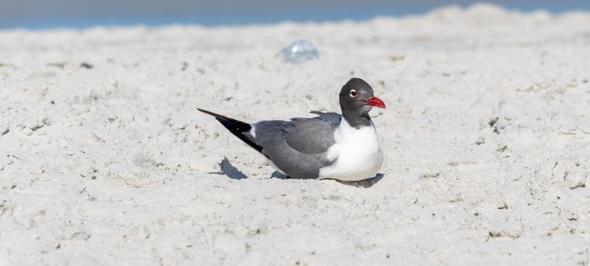 Laughing Gull PhotoShoot