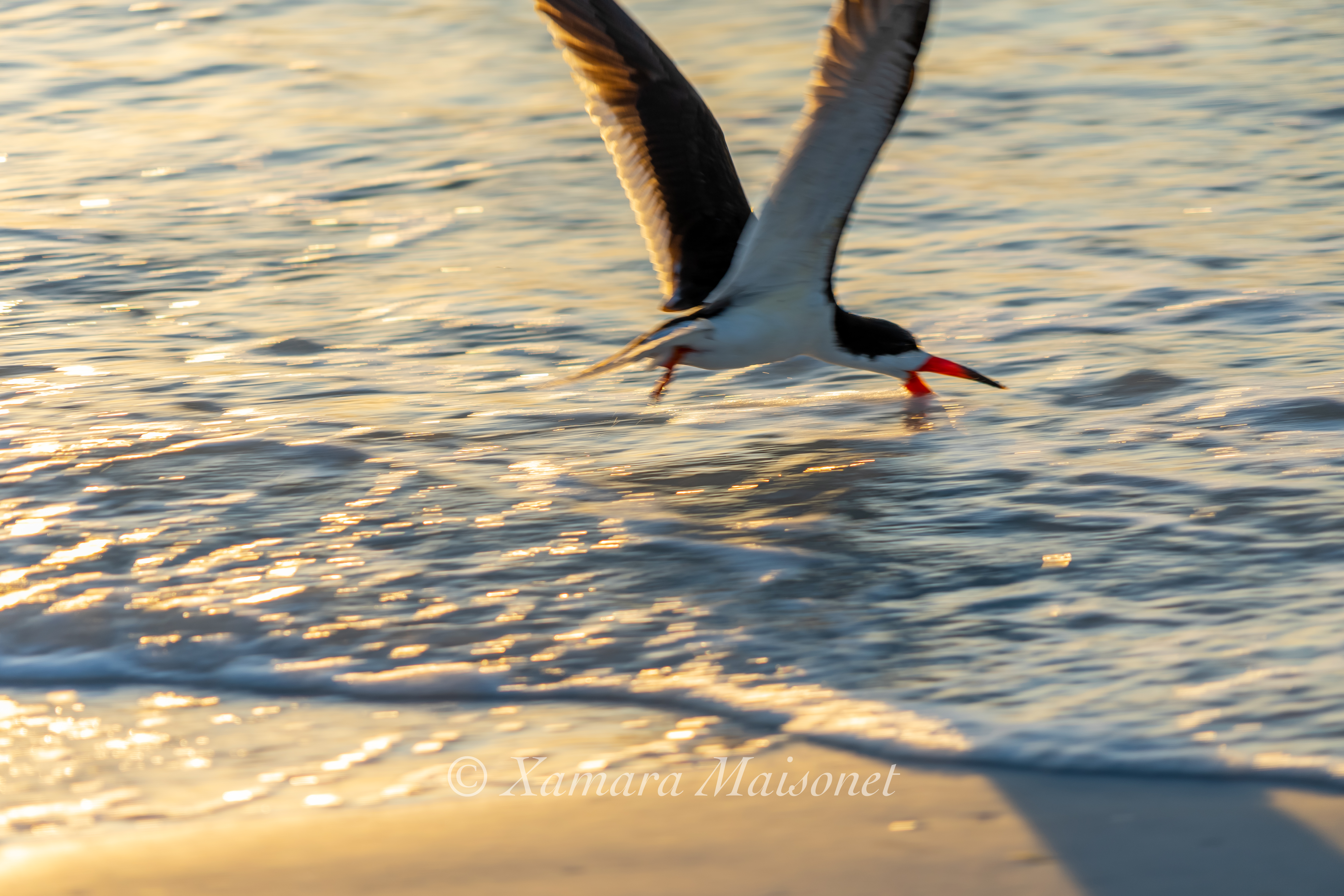 This photo is not sharp at all. But I love it, because you can see clearly what Black Skimmer does for living.