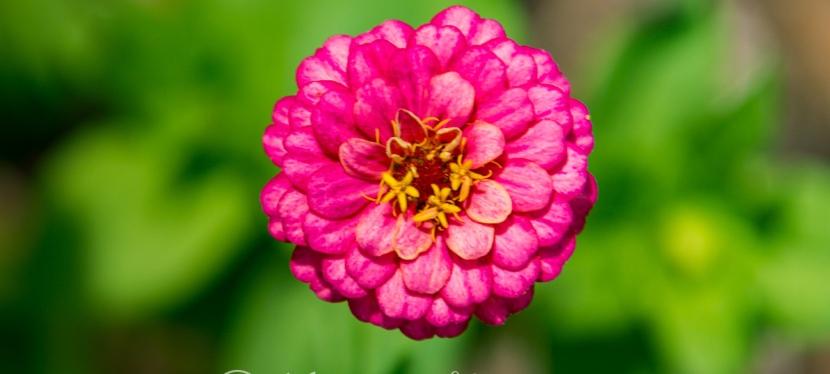 Radiant Rose?