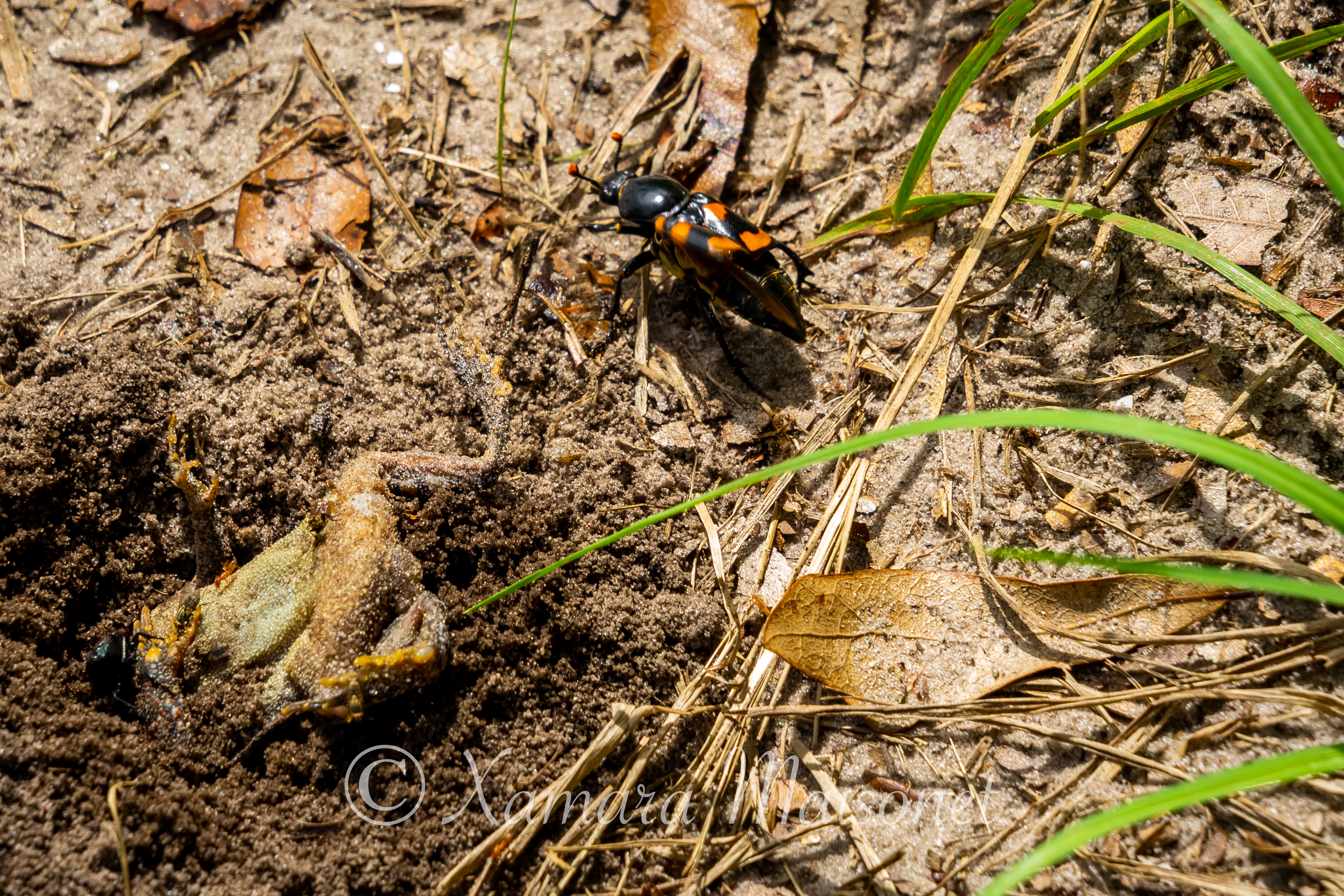 Burying Beetles on the Farm